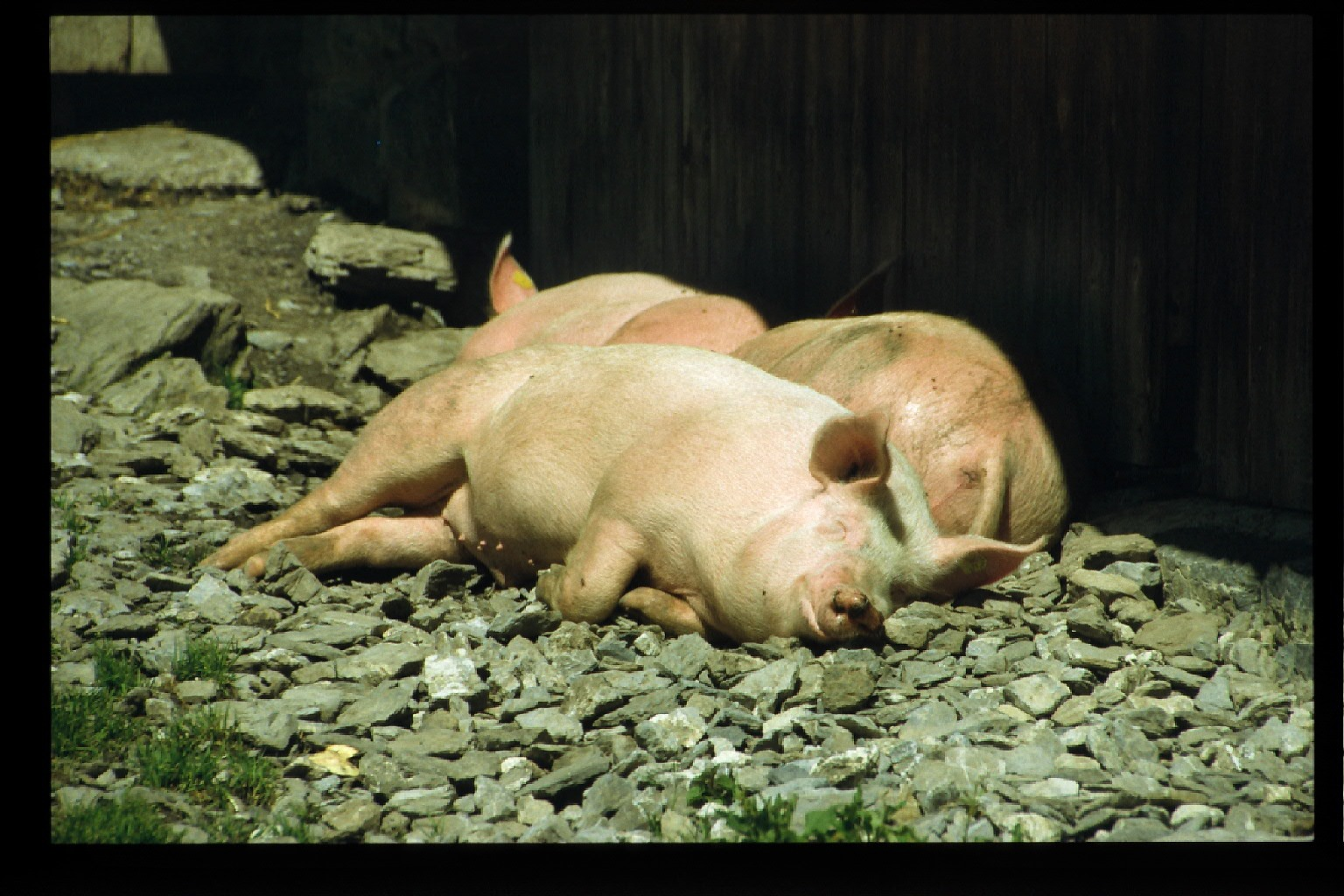 schwein-muß-man-sein